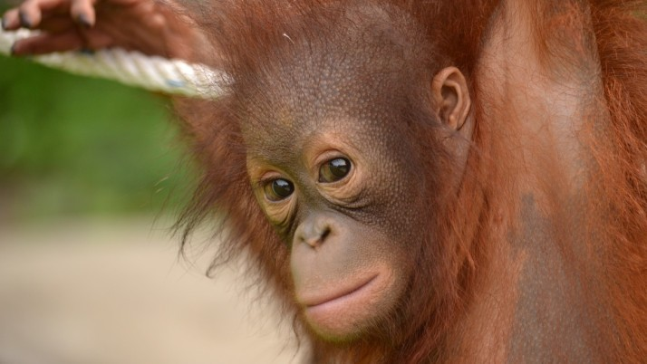 GPi has adopted an Orangutan