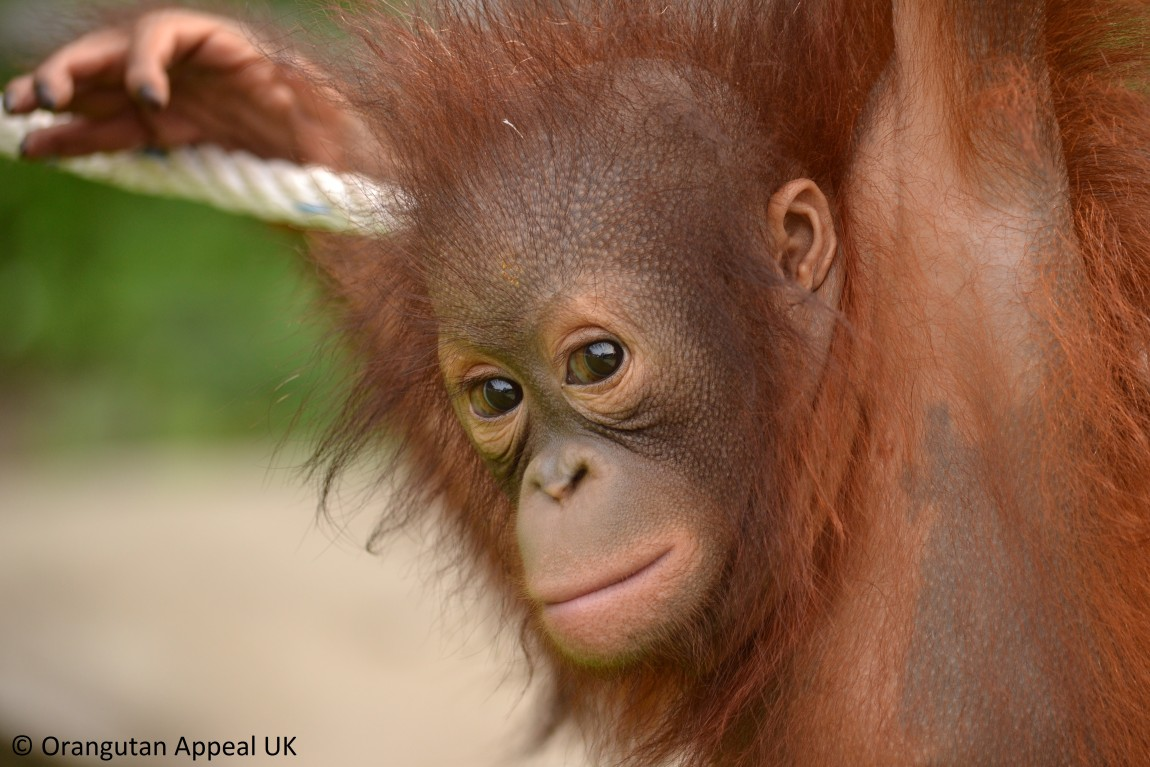 GPi has adopted an Orangutan